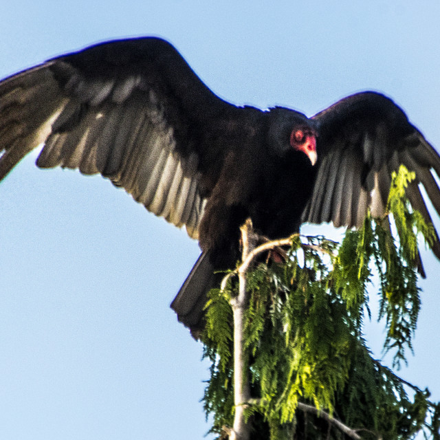 """""""I Am The King Of Vultures"""" stock image"""