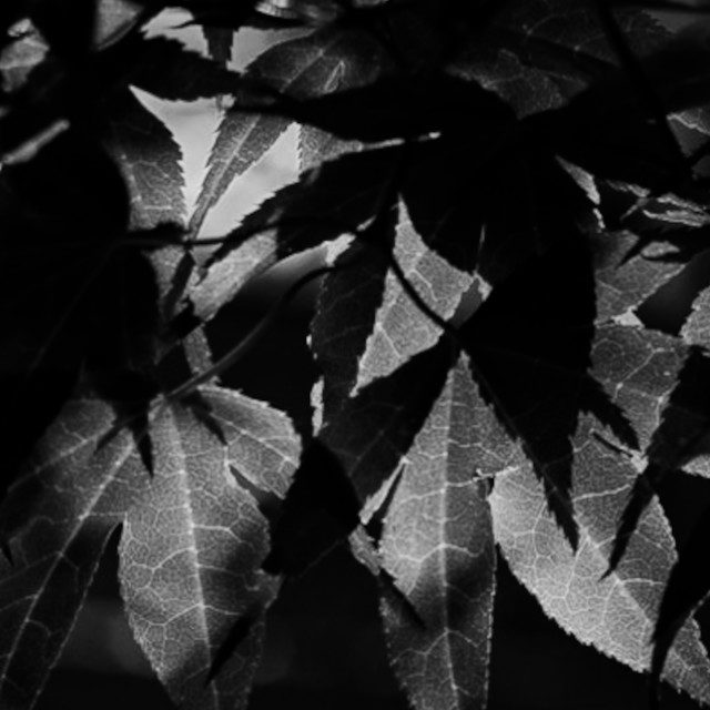 """""""My Nature - Acer in Black & White"""" stock image"""
