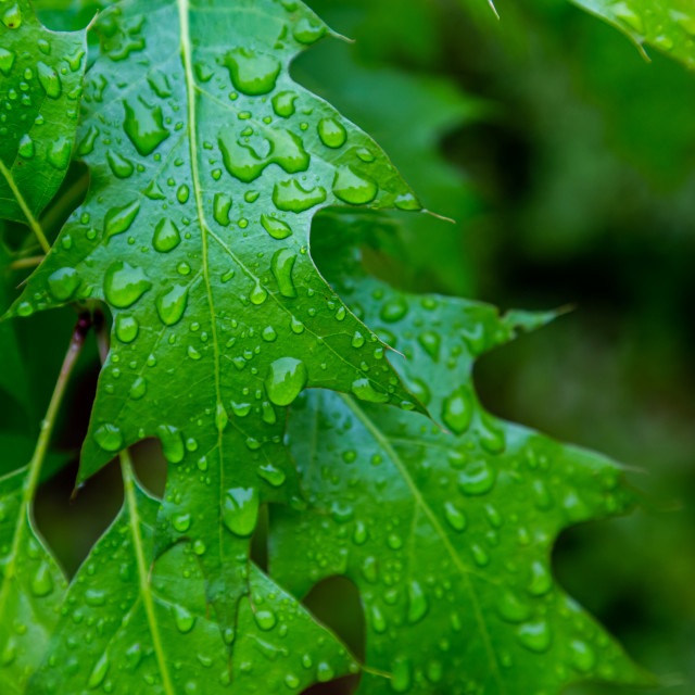 """Raindrops on Vibrant Green leaves"" stock image"