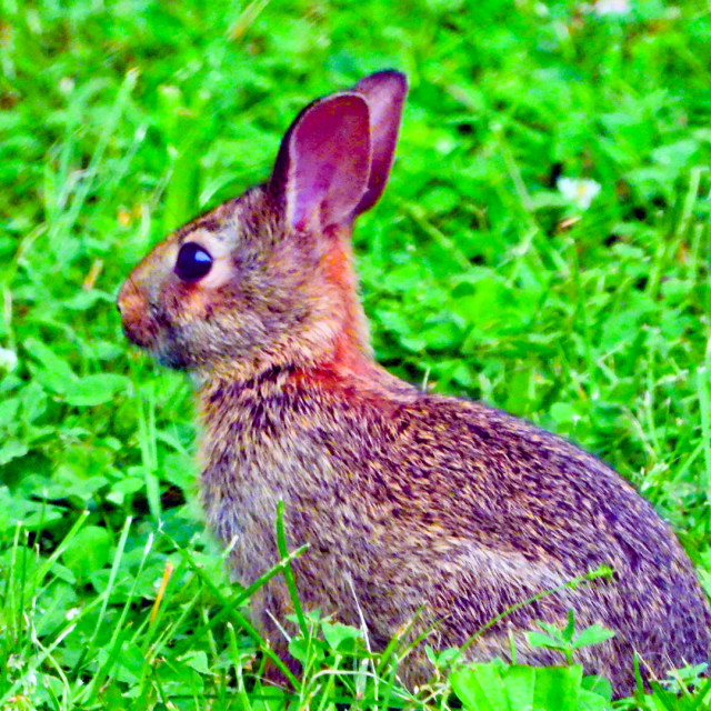 """Eastern Cottontail"" stock image"