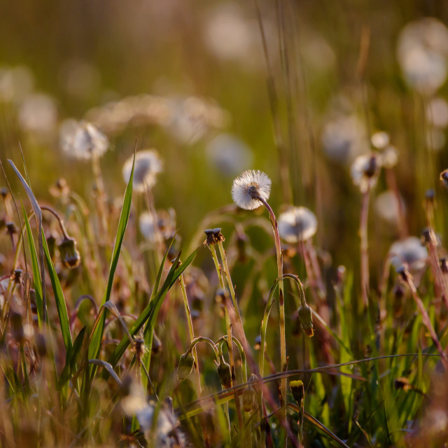 """""""Dandelion fluff at meadow. Summer time."""" stock image"""