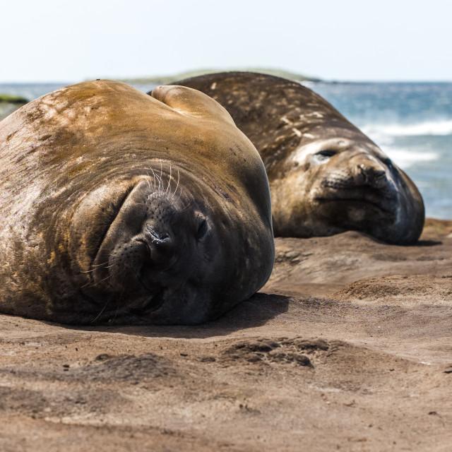 """Southern Elephant Seals Sleeping"" stock image"