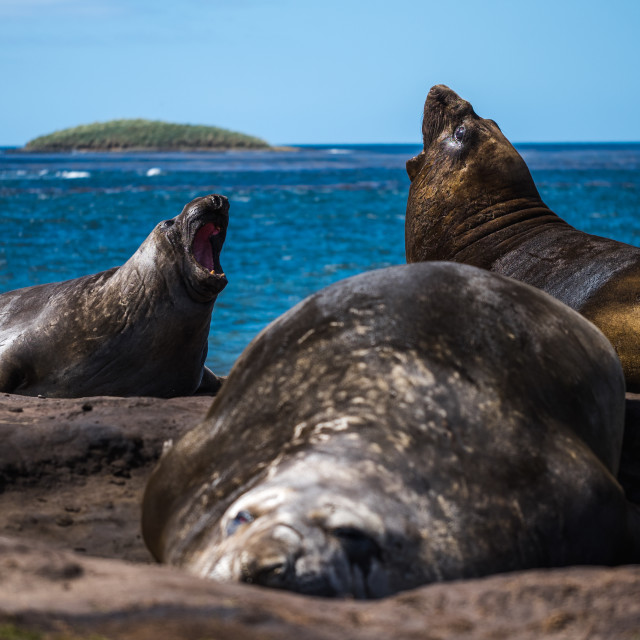 """""""Southern Elephant Seal Fight"""" stock image"""