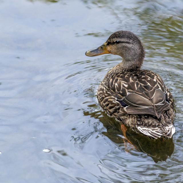 """""""The mottled duck or mottled mallard (Anas fulvigula)"""" stock image"""