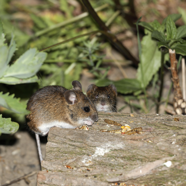 """""""Wood Mouse (Apodemus sylvaticus) and Bank Vole"""" stock image"""