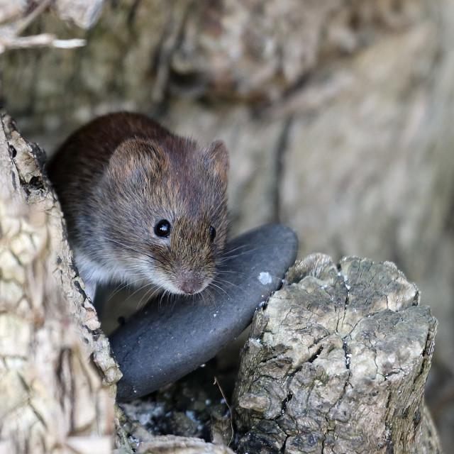"""""""Bank Vole Clethrionomys glareolus UK"""" stock image"""