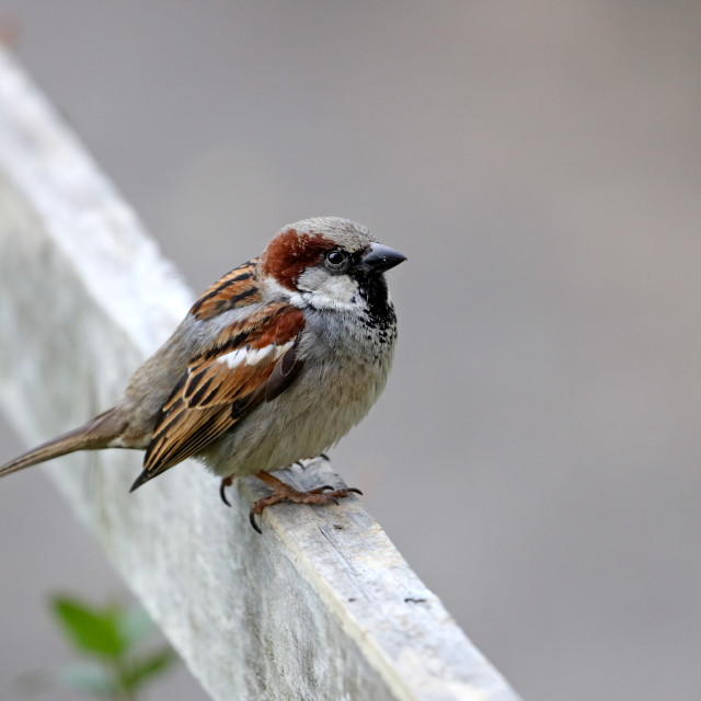 """""""Male House Sparrow (Passer domesticus) UK"""" stock image"""