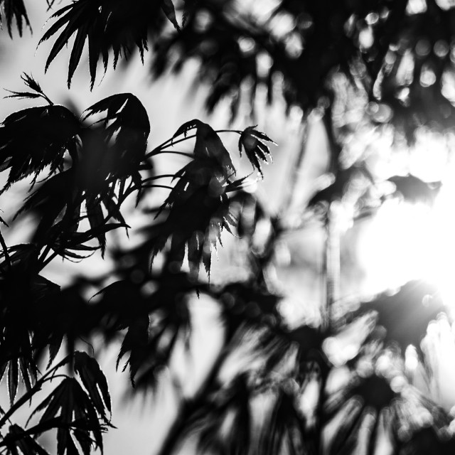 """My Nature - Acer in Sunlight - Black & White"" stock image"