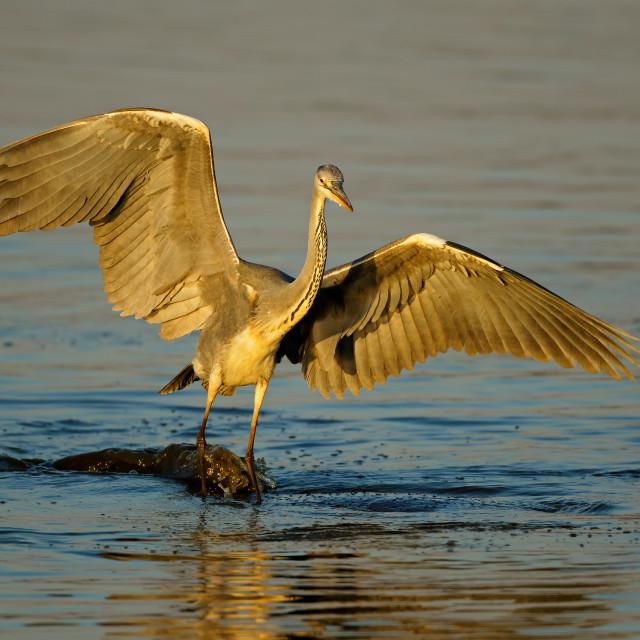 """""""Grey heron balancing on a hippopotamus"""" stock image"""