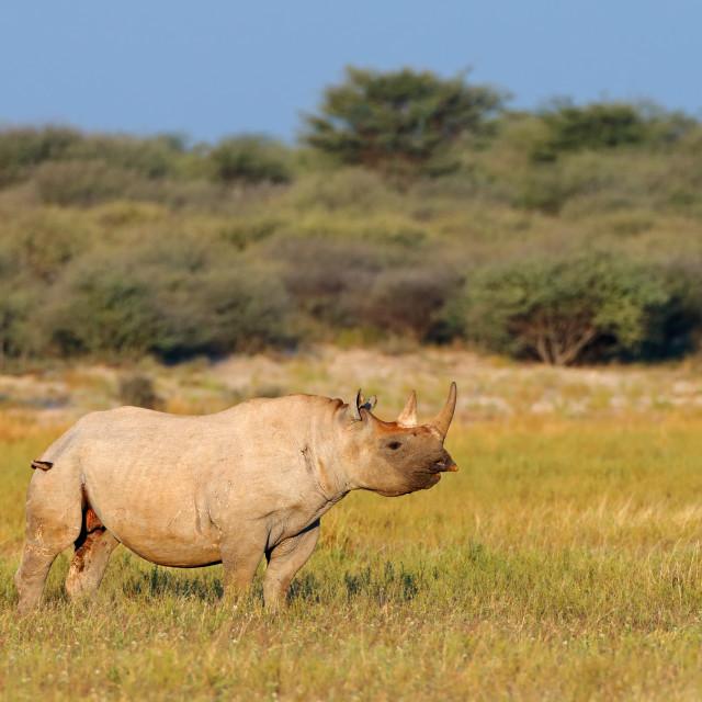 """""""Black rhinoceros in natural habitat"""" stock image"""
