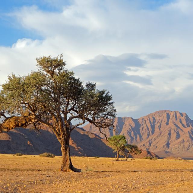 """Namib desert landscape with thorn tree"" stock image"