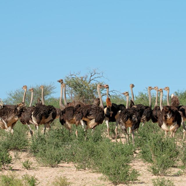 """Ostriches in natural habitat - Kalahari desert"" stock image"