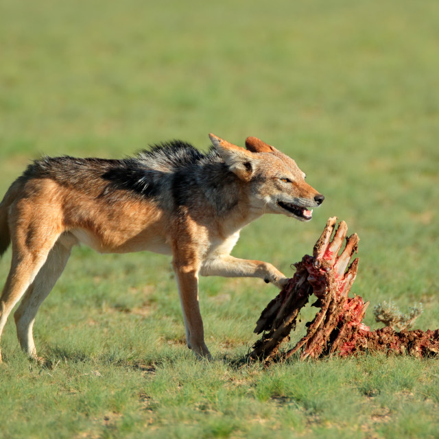 """Scavenging black-backed jackal"" stock image"