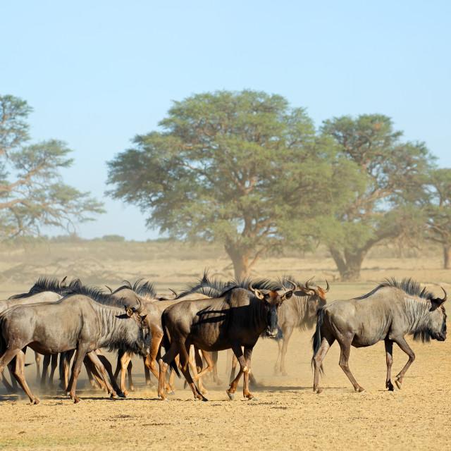 """""""Blue wildebeest herd in dry riverbed"""" stock image"""