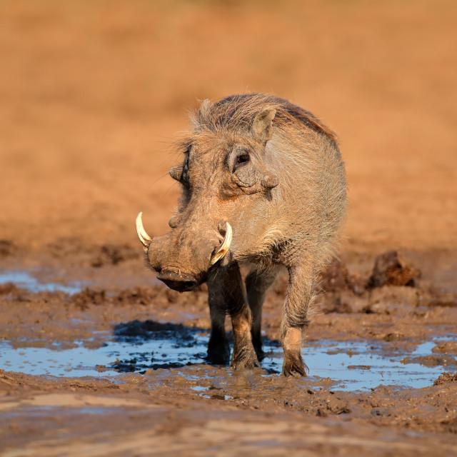 """""""Warthog at a natural waterhole"""" stock image"""