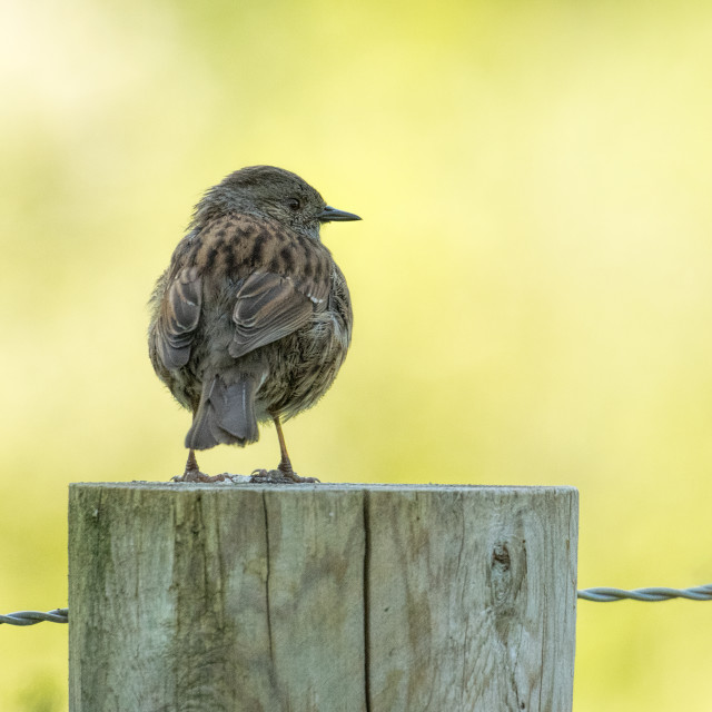 """Dunnock on a post - early morning"" stock image"