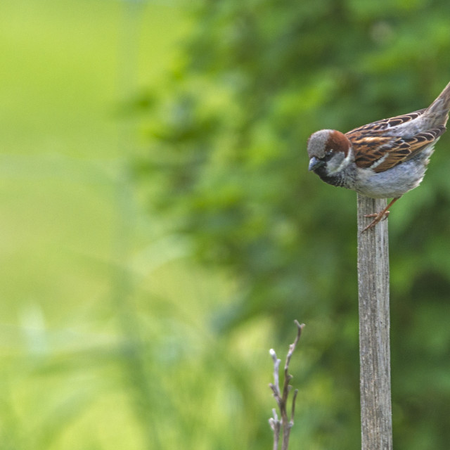 """""""The house sparrow (Passer domesticus)"""" stock image"""