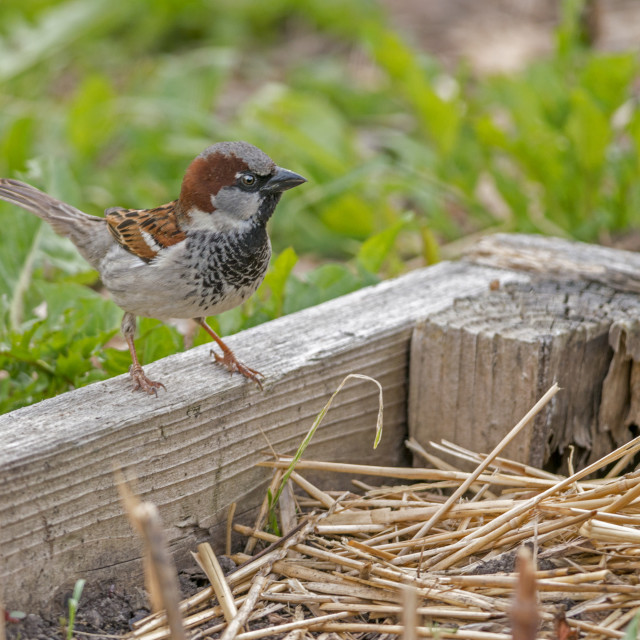 """""""The house sparrow (PasseThe house sparrow (Passer domesticus)r domesticus)"""" stock image"""