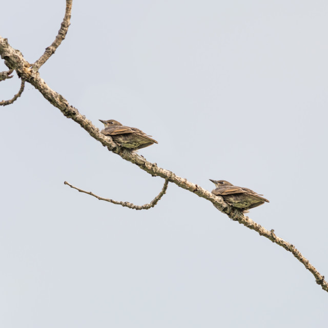 """""""The female house sparrow (Passer domesticus)"""" stock image"""