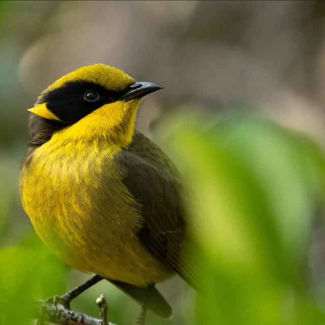 """""""Bird: yellow-tufted honeyeater"""" stock image"""