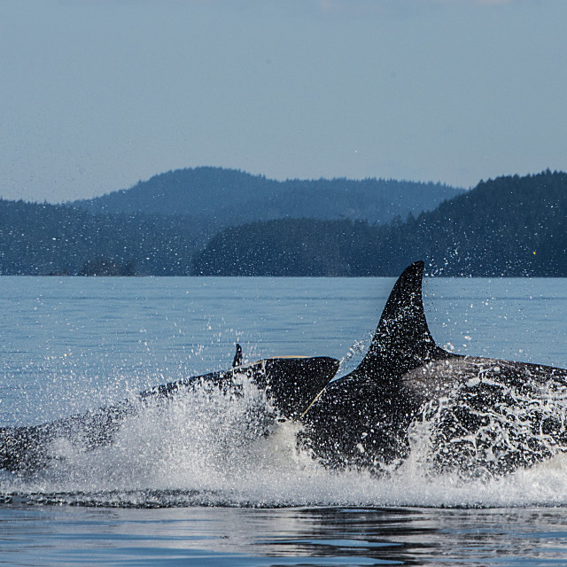 """Unruly Orca Calf"" stock image"