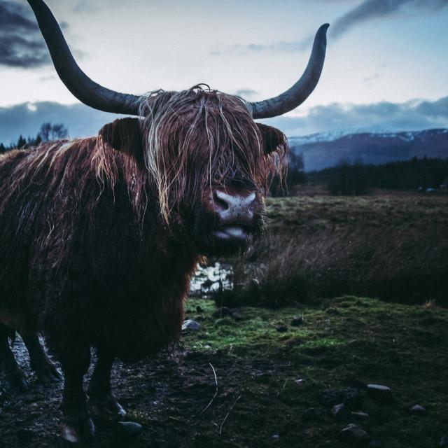 """Highland Coo"" stock image"