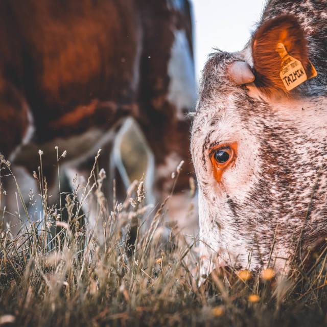 """Cow grazing, Cambridge UK."" stock image"