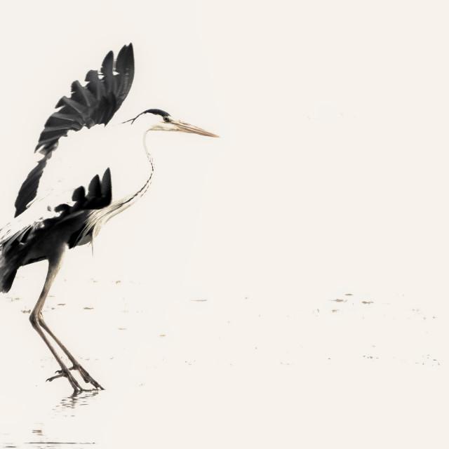 """""""Dancing Heron"""" stock image"""