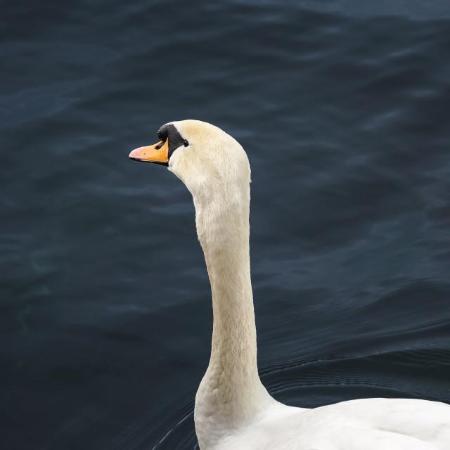 """Swan on dark blue water on Limmat river. Waterbird portrait"" stock image"