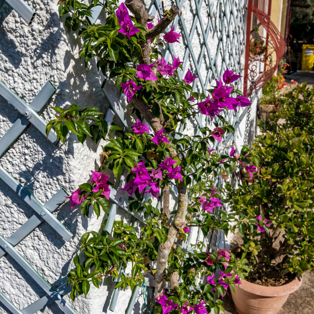 """""""Country house with blooming bougainvillea, Italy"""" stock image"""