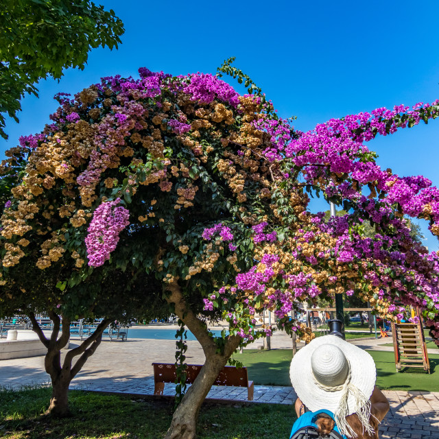 """""""Taking photos of blooming bougainvillea in park"""" stock image"""