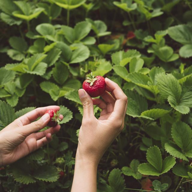 """Strawberries In Organic Garden"" stock image"