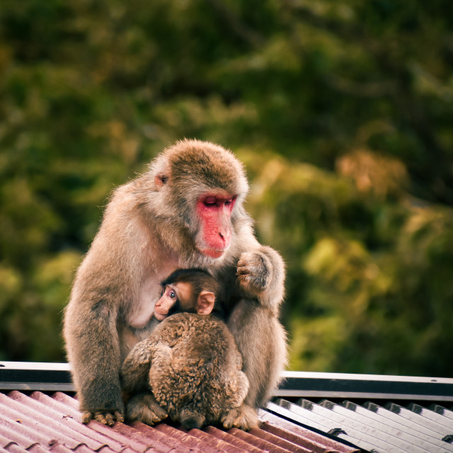 """""""Japanese Macaque Family"""" stock image"""