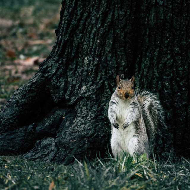 """""""Inquisitive Squirell"""" stock image"""