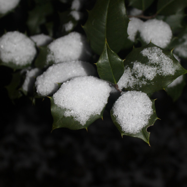 """holly and snow"" stock image"
