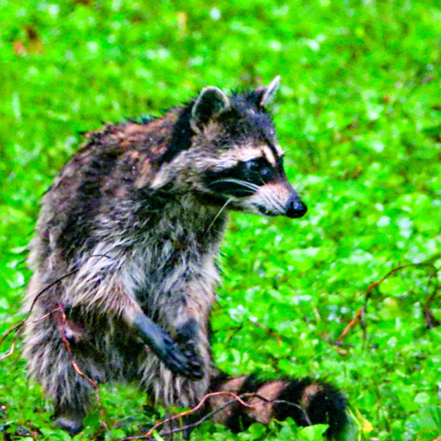 """Raccoon"" stock image"