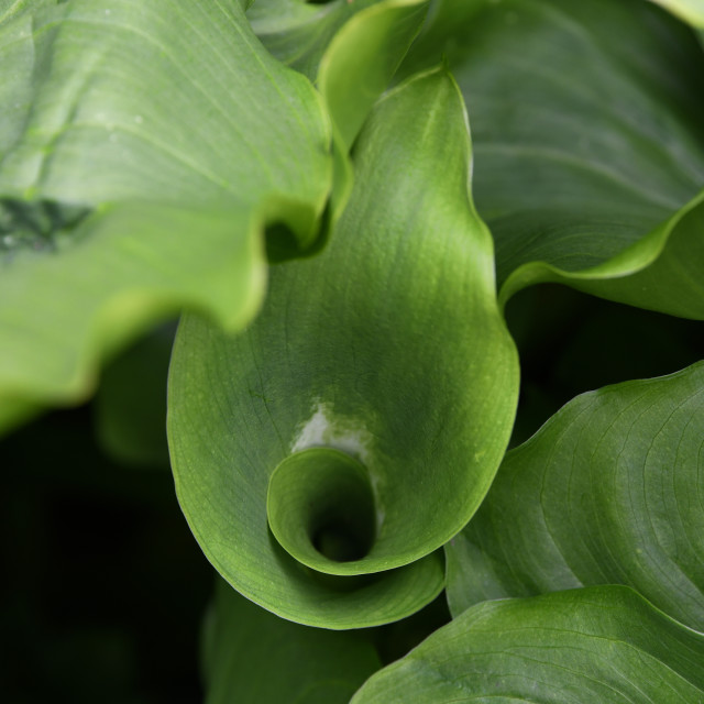 """Zantedeschia 'Green Goddess'"" stock image"