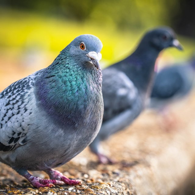 """""""Pigeons by the River Cam."""" stock image"""
