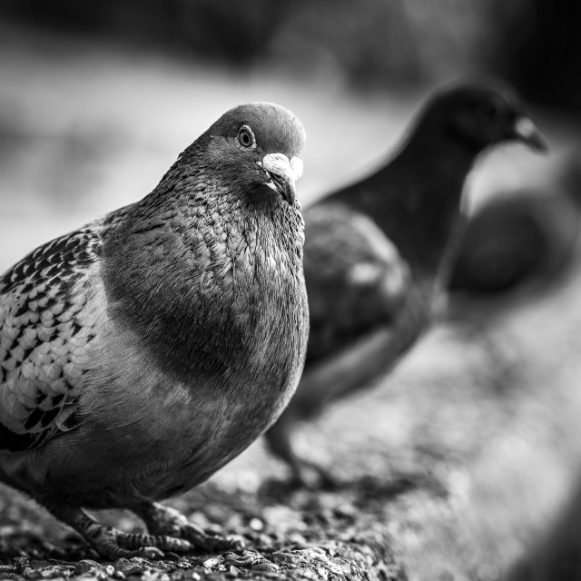 """""""Pigeons in Black and White by the River Cam."""" stock image"""