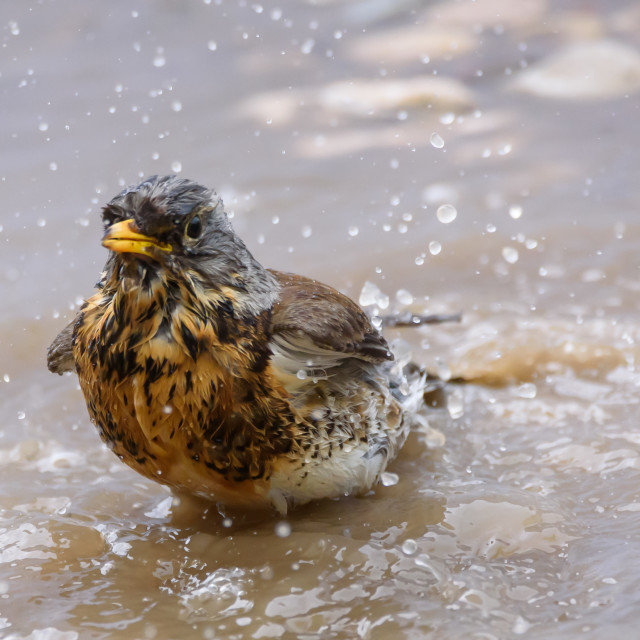 """Fieldfare bird, Turdus pilaris washes at puddle."" stock image"