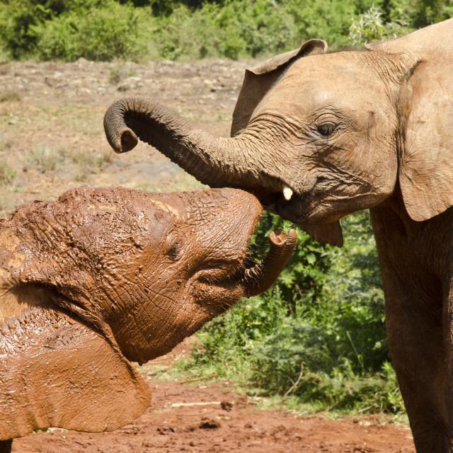 """""""Baby Elephants, Kenya"""" stock image"""