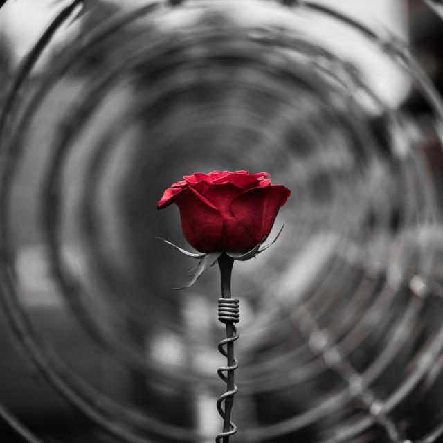 """Red rose inside razor wire"" stock image"