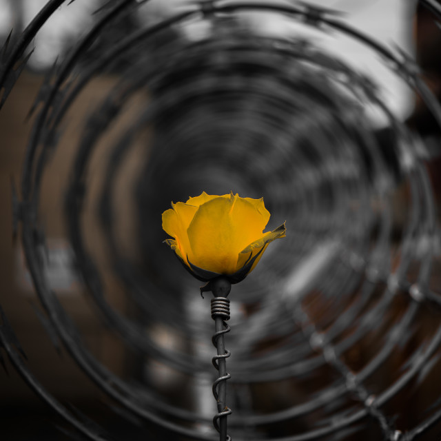 """""""Yellow rose surrounded by razor wire"""" stock image"""