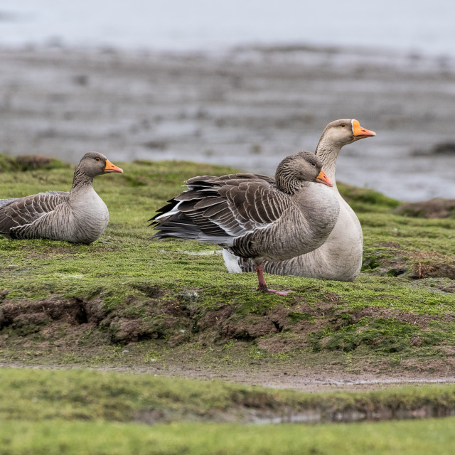 """Greylag Geese - Hackney Marsh"" stock image"