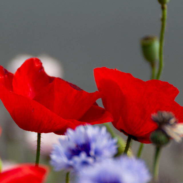 """Poppys"" stock image"