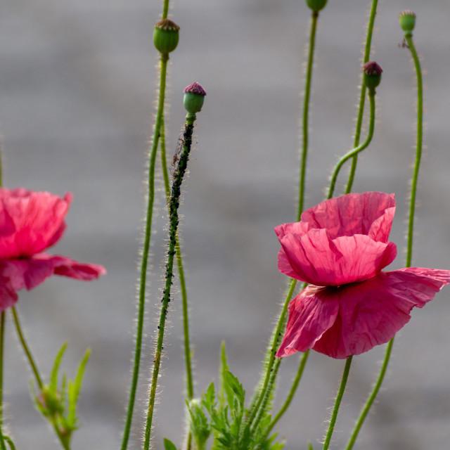 """Pink poppys"" stock image"