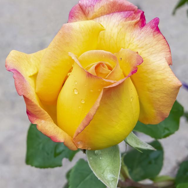 """Arthur Rose 2"" stock image"