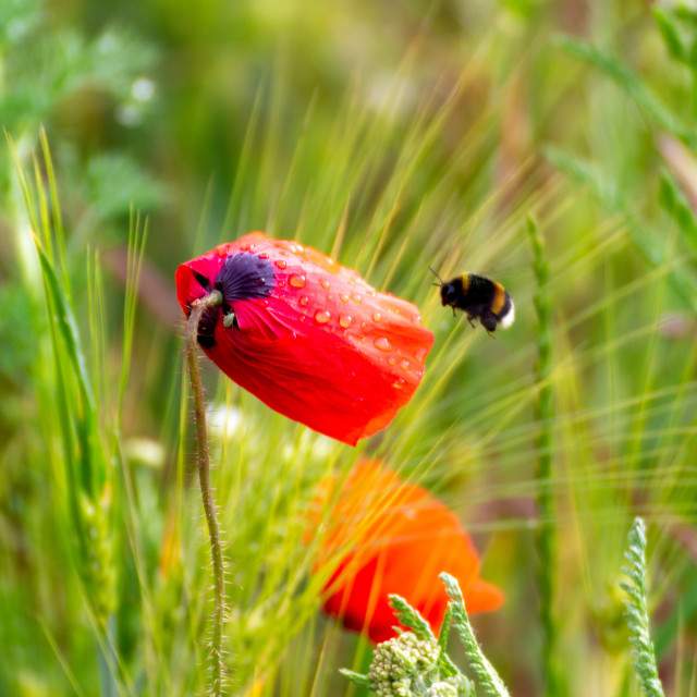 """""""Poppy and the bee"""" stock image"""