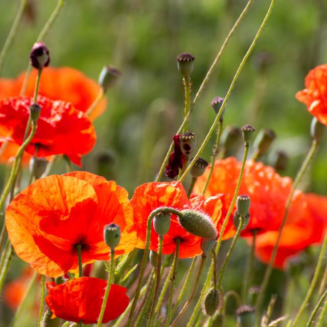 """Poppy meadow"" stock image"