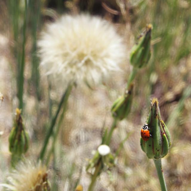 """Ladybug on dandelion"" stock image"